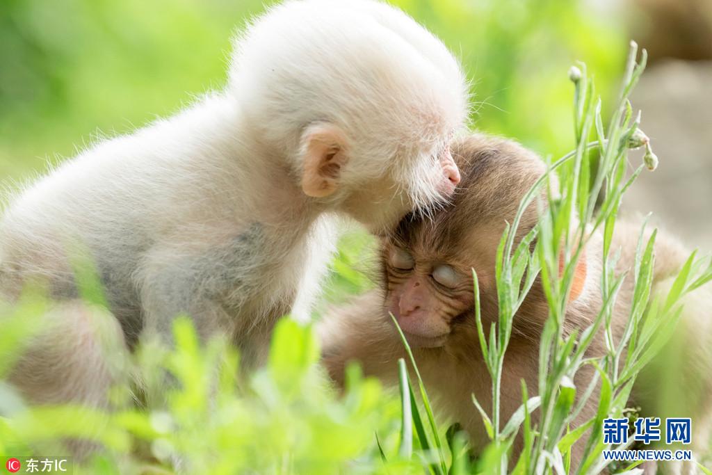 日本公园现罕见白色雪猴 可爱的像个小公举(组图)