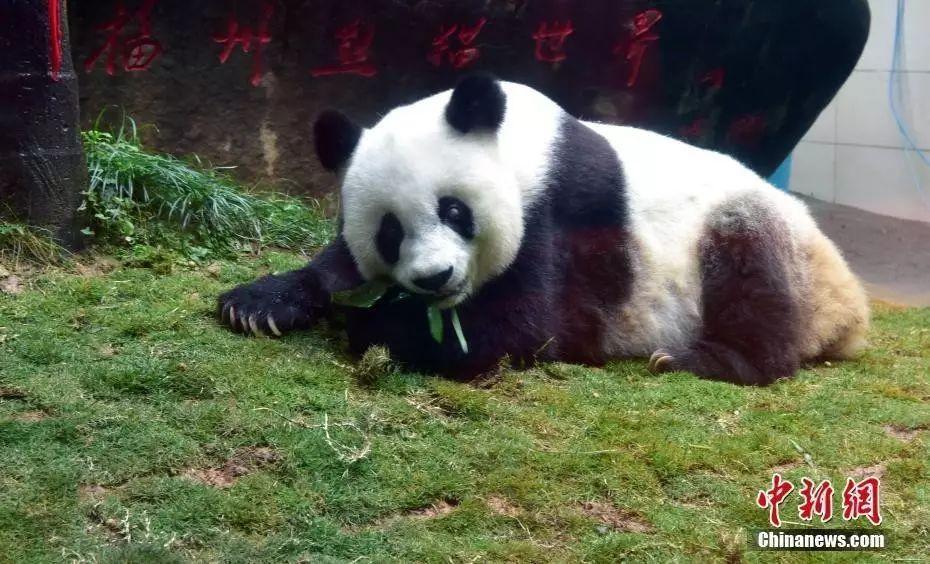 图为37岁的熊猫巴斯。 张丽君 摄
