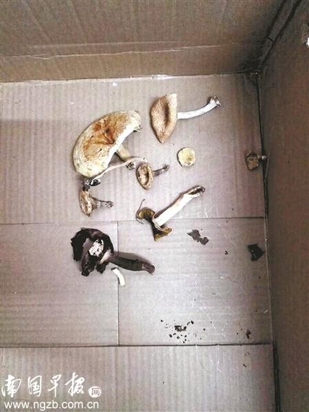 咸水镇干部在事发山林采集的野菌样品。 南国早报记者 邓振福 摄