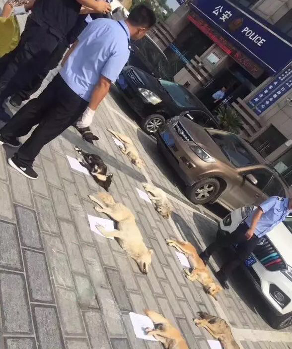 被捕杀的8条土狗。本文图片 楚天都市报