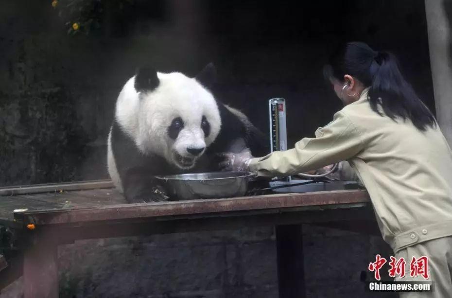 图为2015年35岁的熊猫巴斯,相当于人类百岁以上。 中新社发 张丽君 摄