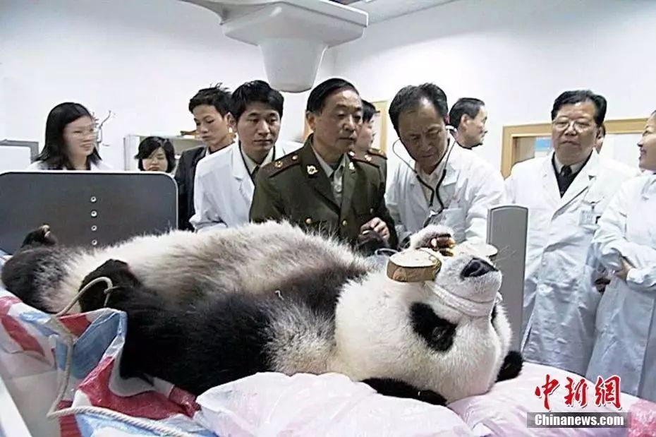 """图为2010年4月23日晚,福州大熊猫研究中心将""""巴斯""""送往南京军区福州总院进行心电图、胸透、血样、眼压及脑部CT检查。中新社发 杨婀娜 摄"""