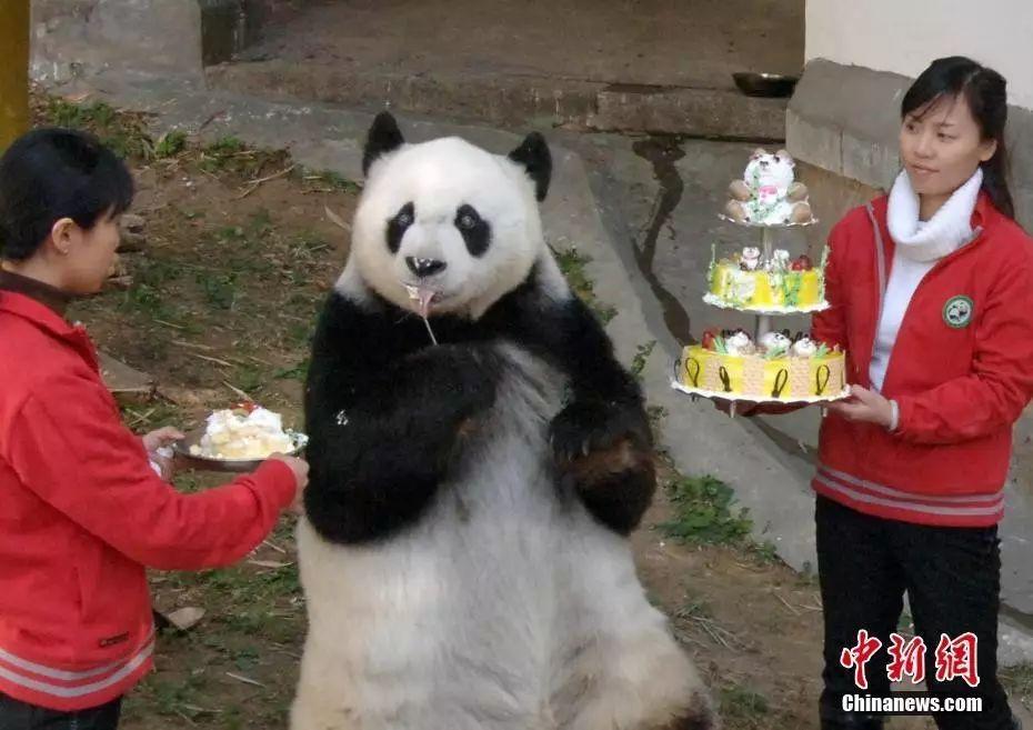 图为2005年,大熊猫巴斯度过25岁生日。 中新社记者 刘可耕 摄