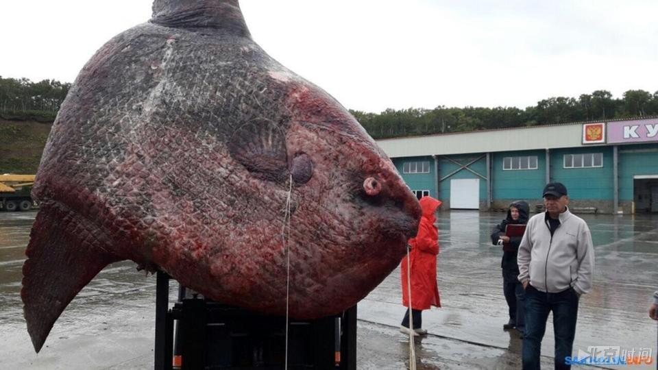 渔民捕获一吨重巨鱼