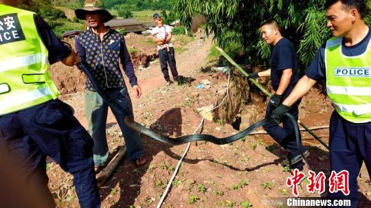 图为剧毒眼镜王蛇被控制并捕捉。 饶尧 摄