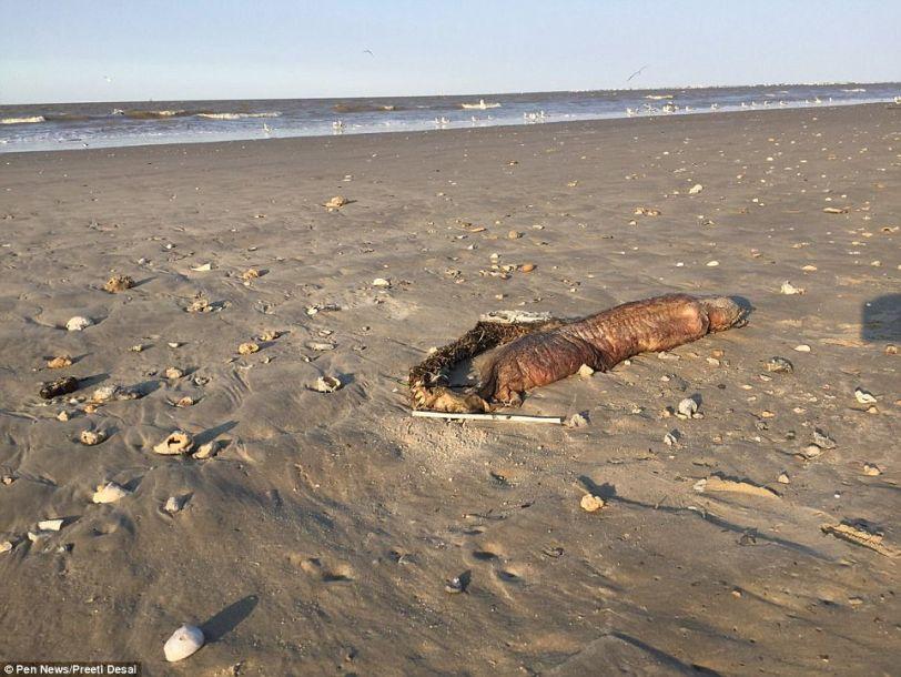 """神秘海洋生物遗体""""哈维""""飓风后现身海滩"""