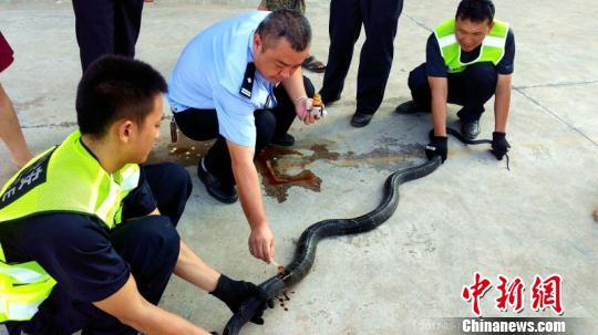 图为民警给眼镜王蛇的伤口举行上药处置惩罚。 饶尧 摄