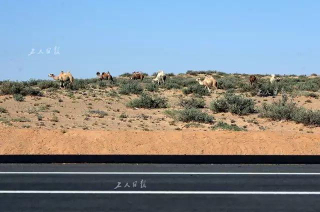 沿途随处可见沙漠生物。固然,有护栏阻隔,高速路行车是宁静的。图片泉源:工人日报