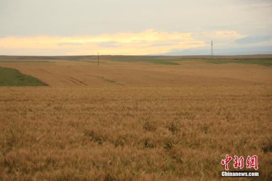 资料图:新疆昭苏高原上约百万亩春小麦逐渐变黄。 李文武 摄