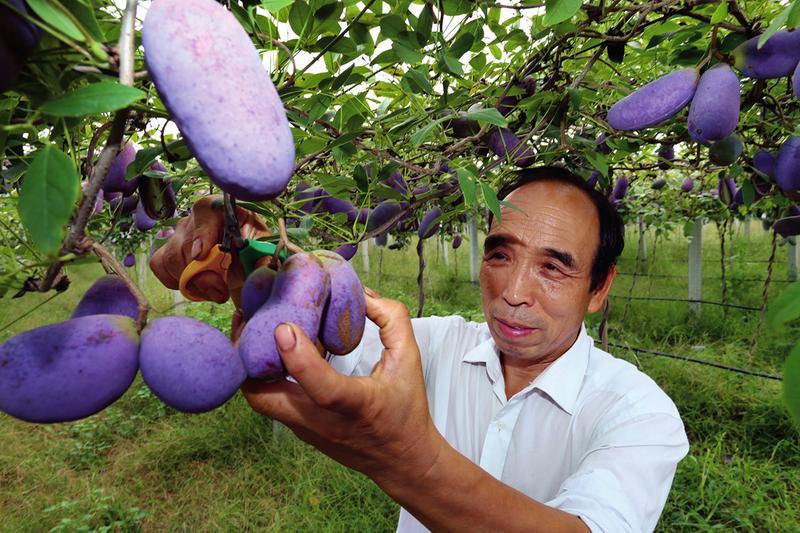 """水果""""八月炸""""你吃过吗 西安男子10年培育出新水果"""