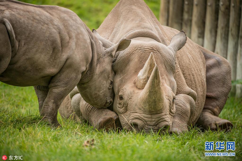 2017年9月22日报道(具体拍摄时间不详),英国切斯特动物园2个月大犀牛宝宝Ike围着妈妈Kitani求关注,小家伙一会追着妈妈献吻,一会爬到妈妈背上捣乱,一会又拿自己的小脸蹭妈妈,为求关各种放大招,小模样可爱极了。Ike是切斯特动物园今年迎来的两头珍稀黑犀牛幼崽之一。图片来源:东方IC