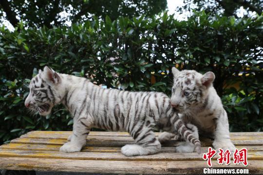 王成杰 摄   近日,重庆永川一野生动物世界的一对双胞胎小白虎满月了