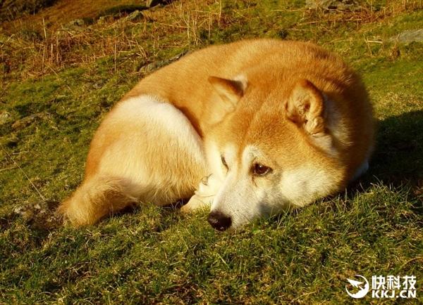 日本柴犬随意一躺 竟创造多处黄金螺旋
