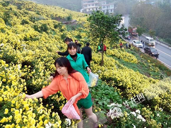 市平易近在云阳县采摘菊花。 市农委供图 华龙网发
