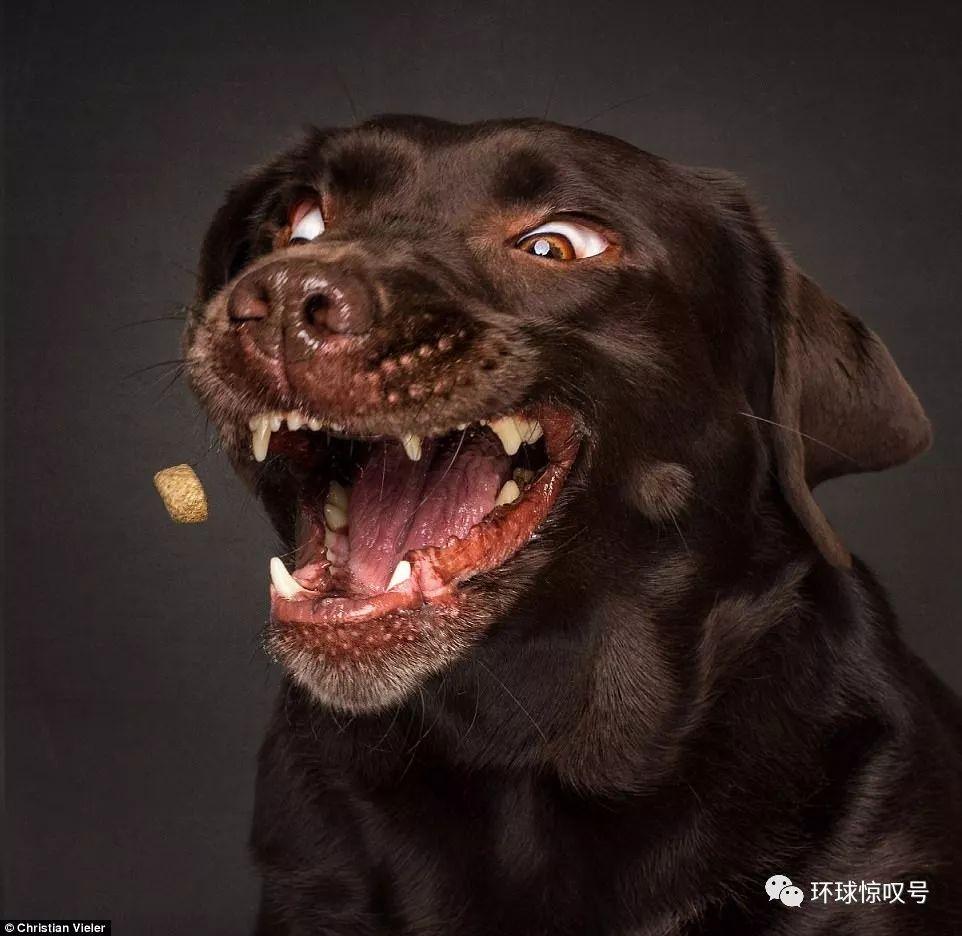 抓拍狗狗接食百态,龇牙咧嘴超好笑图片