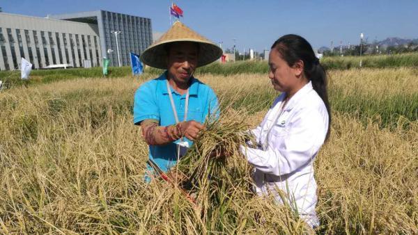 袁隆平的海水稻:最高亩产超620公斤