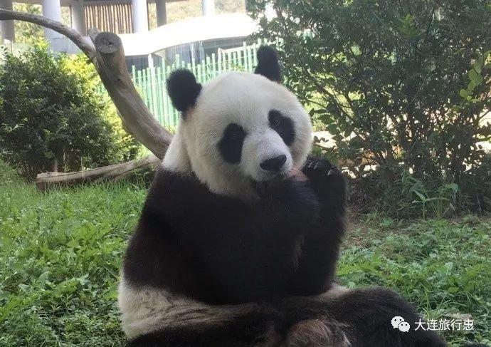 熊猫吃月饼赏月啦!馅料竟然是…|熊猫|动物园|大连园