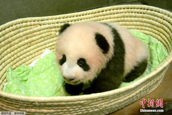 """当地时间2017年9月25日,日本东京,东京上野动物园出生的熊猫宝宝名字为""""香香""""。"""