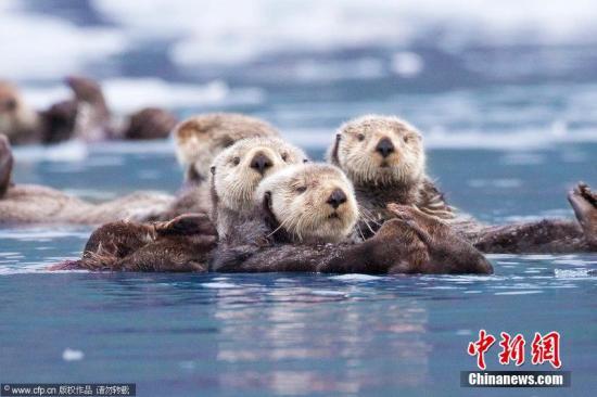 澜沧江源区频现欧亚水獭 证明河流生态系统完整图片
