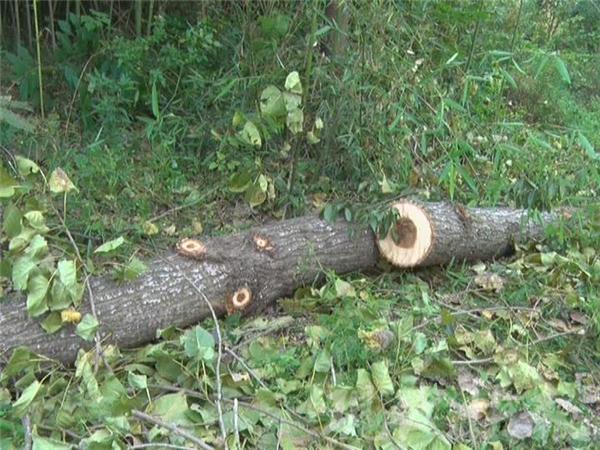 △现场被伐倒的树 爆料人供图