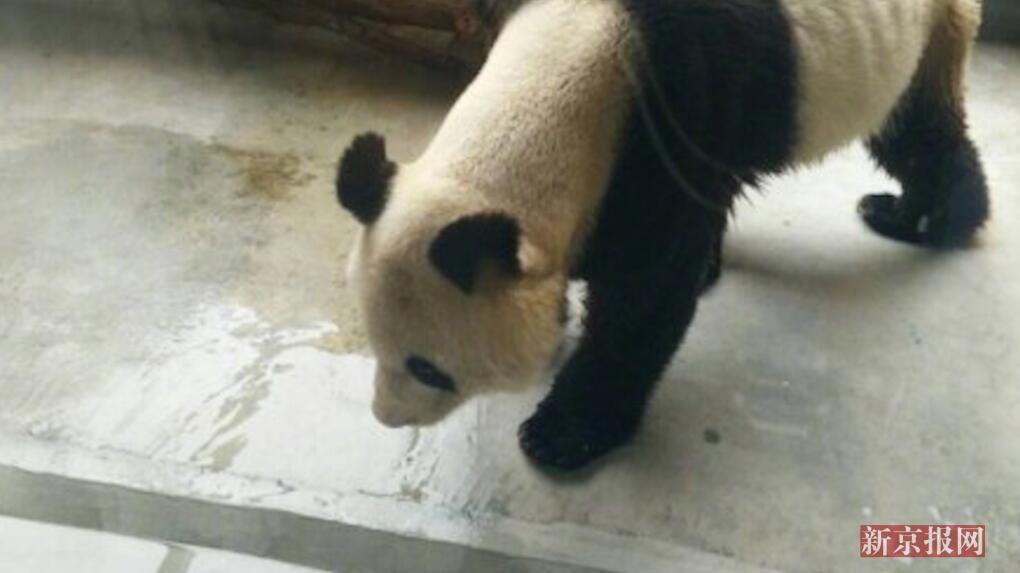 10月9日,有网友发微博称,在西安秦岭野生动物园一只大熊猫瘦到骨头清晰可见,看起来无精打采。对此,园方回应北青记者称,这只大熊猫得了牙髓炎,好几天不好好吃东西,所以才会这么瘦,目前正接受治疗。 编辑:衷晴