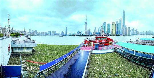 """在金陵东路轮渡口,水葫芦已团团包围码头,远远望去如一片""""绿毯""""。 /晨报记者 任国强"""