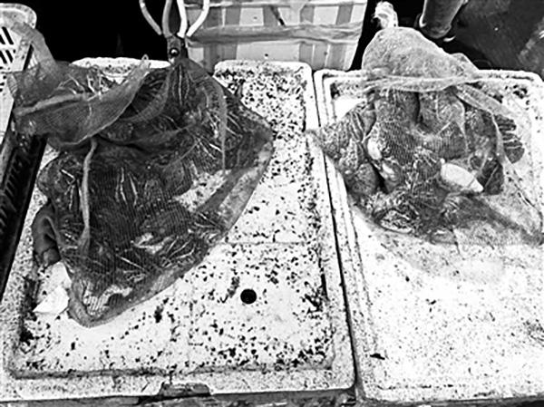 被商贩贩卖的虎纹蛙。北京青年报 图