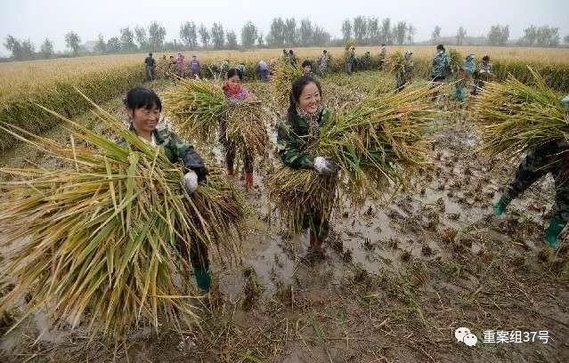 ▲事情职员在收获超级杂交水稻。  图片来自网络