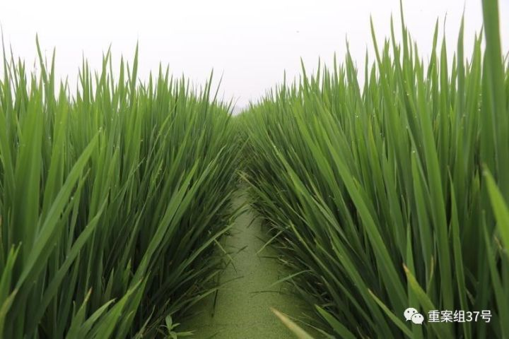 """▲河北硅谷农科院莳植水稻的""""旱栽苗""""。河北硅谷农科院供图"""