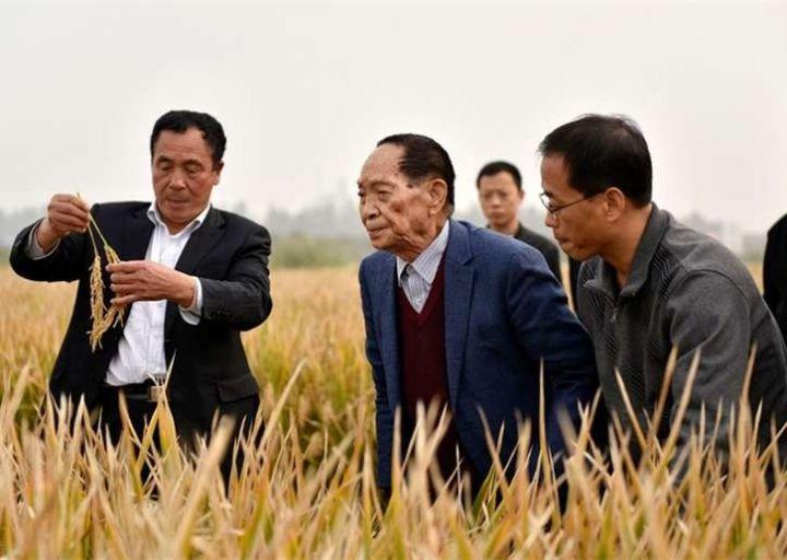 袁隆平院士在邯郸永年超级杂交水稻百亩树模田检察超级杂交水稻。河北硅谷农科院供图