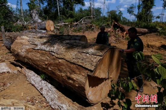 """巴西环境与可再生资源署特工在亚马逊展开""""绿浪行动"""",检查一段被伐倒的树木。"""
