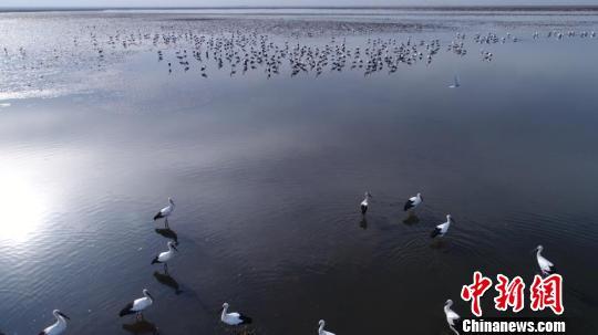 600多只东方白鹳在莫莫格湿地停留觅食 李军俊 摄