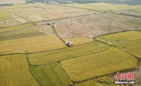 资料图:超级稻。 邓宁静 摄