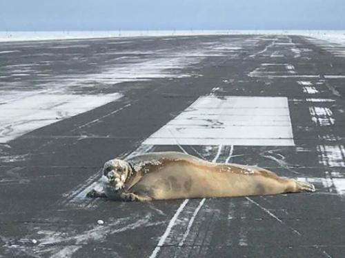 """你怎么跑这来了?美机场跑道遭大块头海豹""""拦路"""""""