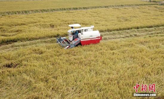 资料图:江西泰和县农民忙着收割超级稻。邓和平 摄
