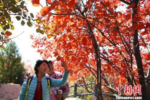 材料图:八达岭国度丛林公园进入红叶最佳欣赏期。 何建勇 摄