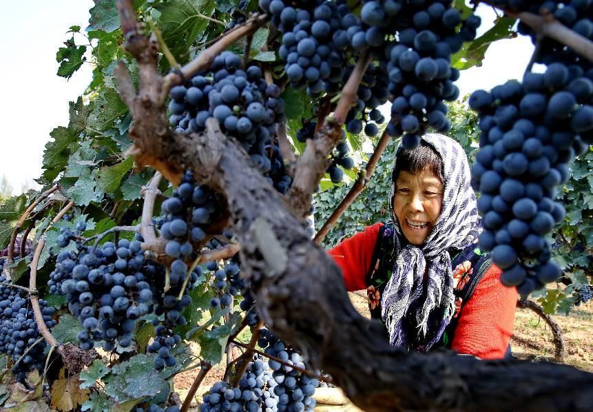 昌黎县两山村的农民在采摘酿酒葡萄。 图/新华社