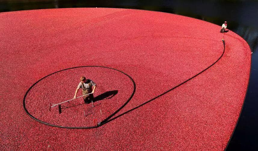 ▲美国马萨诸塞州的工人正在收割蔓越莓。