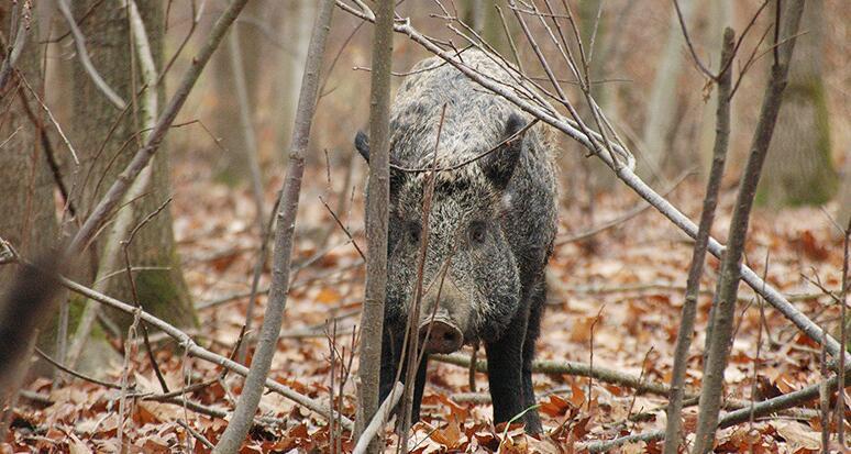 俄飞地发现非洲猪瘟病毒 为防止蔓延将大量捕杀野猪