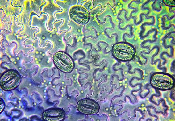 图 2:植物叶片上的气孔