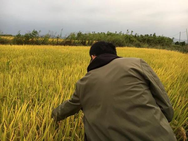 """志愿者在稻田里取样。 自环保组织""""中国无毒地"""" 图"""