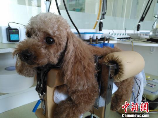 狗狗妞妞很享受艾灸治疗。 赵桂华 摄