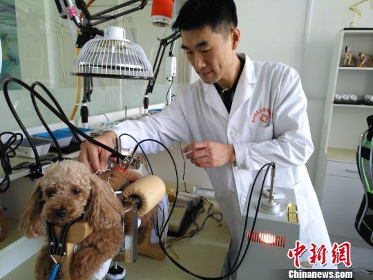博士毕业的医生正在给妞妞针灸。 赵桂华 摄