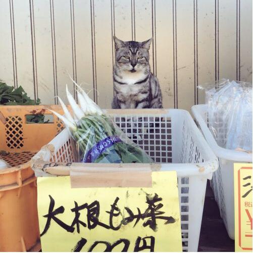 日本无人蔬菜摊现猫店员!工作有模有样被评价