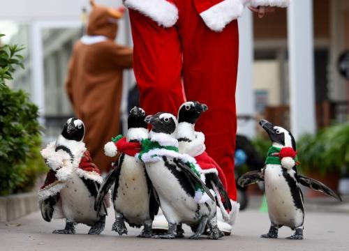 """萌翻!日本举行""""企鹅圣诞大游行""""_场面诙谐(图)"""