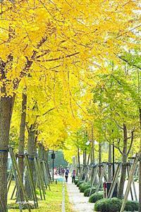 世纪公园的银杏大道约1000米长  /世纪公园供图