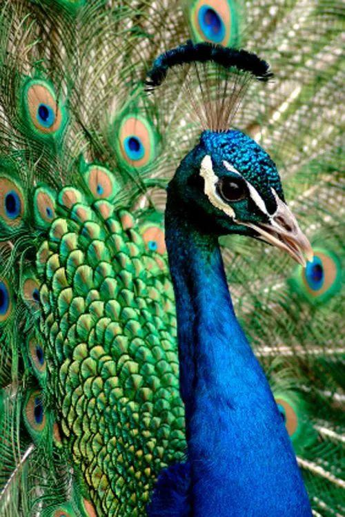 蓝孔雀是较为珍稀半草食性非保护动物,没有绿孔雀保护级别高.