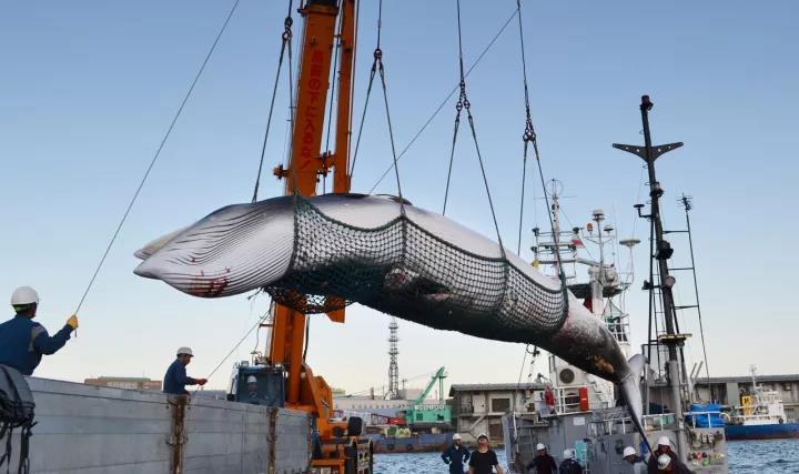 """日本""""捕鲸船""""计划再猎杀333头鲸!"""