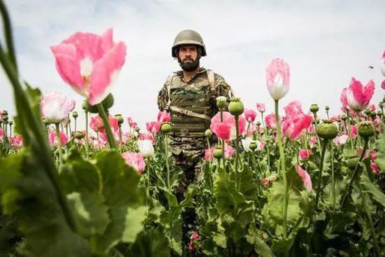 ▲资料图片:阿富汗军人站在罂粟花中间