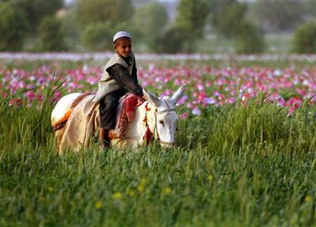 资料图片:图为阿富汗当地的罂粟田。(图片来源于网络)